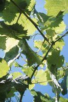 Er Wild Grape et Weed?