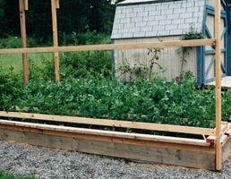 Hvordan Grow Pea Shoots