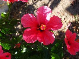 Blomster som trives i Houston, Texas