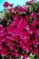 Bougainvillea Repotting