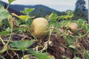 Squash Plant Plutselig visnet
