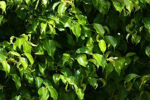 Kan en Ficus treet plantes i bakken?