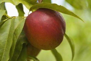 Hva er gjennomsnittlig antall av Peach Trees Per Acre?