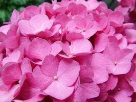 Hvordan Grow Hortensiabusker Inside