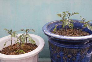 Innendørs Mat bærende planter