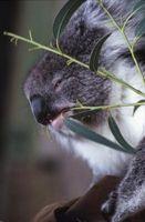 Hva er eukalyptus blader?