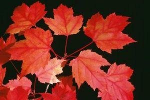 Slik Care for en japansk Red Maple Bonsai