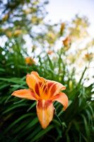 Begrens Leaf Blomstrende Garden Plants