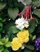 Den beste jorda for Begonia blomster