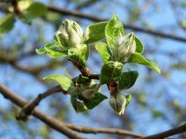 Hvorfor Apple Trees ikke bærer frukt hvert år?