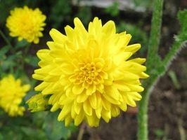 Hvordan bruke Krysantemum for Garden Skadedyrkontroll