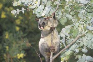 Australian Eucalyptus Tre Informasjon