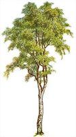 Hvordan Plant et Birch Tree