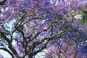 Hvilke typer trær har lilla blomster?