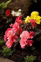 Når skal Gjødsle nystartede Garden Plants
