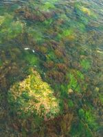 svart alge i svoemmebaseng