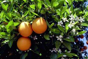 Orange Tree er mister Blomster
