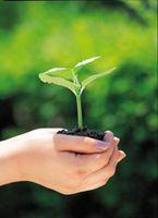 Hva skjer hvis en Plant Leaf Ikke får Sun?