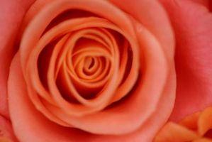 Er Roses monocots eller dicots?