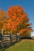 Maple Tree Leaf Sykdommer