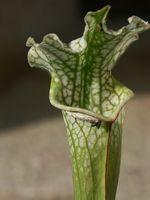 Hva kan du strømmen din kjøttetende planter hvis du ikke har noen Bugs?
