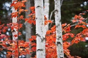 Red Maple Tree vekstrate