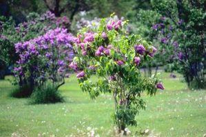 Kan syriner Bloom på egenhånd?