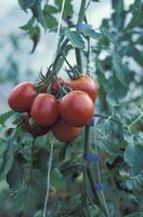 Hvordan Plant raskt voksende Grønnsaker