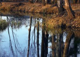 River Birch Tree Identifikasjon