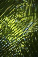 Grunner Plant bladene er å snu Gul