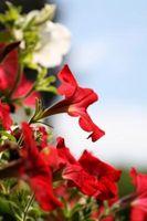 Vanlige Røde blomster