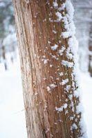 Cedar Trees i vinter
