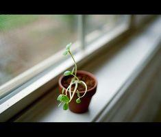 Skadelige Stueplanter
