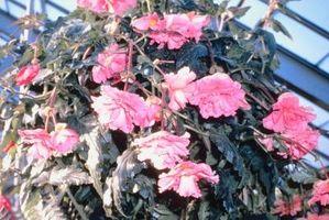 Hva å gjøre med etterfølgende Begonia løker i høst?