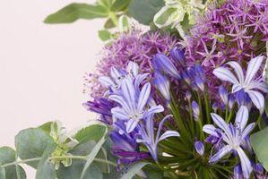 Hvorfor viser ikke Agapanthus Bloom?