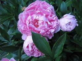 Hva er forskjellen mellom Peony lactiflora & Urteaktig?
