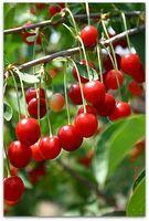 Hvordan Deep Trenger du å Plant Cherry Tree frø?