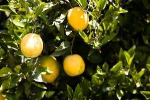 Hvor lang tid det tar å vokse en Orange Plant