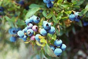 Når jeg Legg gjødsel Må til blåbær busker?