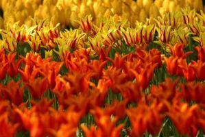 Planter til Plant Over en Tulip Bed