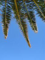 Vanlige Hus Palm Planter