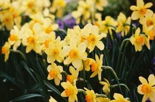 Hvordan til Store Narcissus løker til Vent Planting