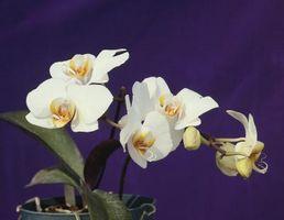 Hvordan å kutte ned en Moth Orchid