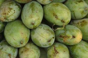 Hvorfor Mango Trees ikke vil produsere frukt