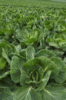 Hurtig Voksende Planter for vannkultur