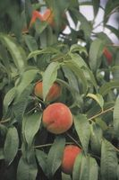 Dverg Peach Tree Størrelse