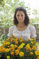 Hvor lenge før Marigolds Flower Fra Seed
