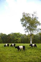 Fly Repellent for Cows