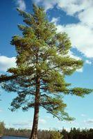Hva å gjøre med Pine Ash?