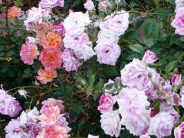 Knockout Roses Vs.  Teppe Roses